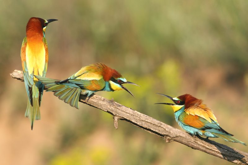 "Abelharuco-europeu (Merops apiaster) em <a href=""https://en.wikipedia.org/wiki/Persina_Nature_Park"">Persina Nature Park</a>, Bulgária. Foto de Borilei via Wikimedia Commons, CC BY-SA 4.0."