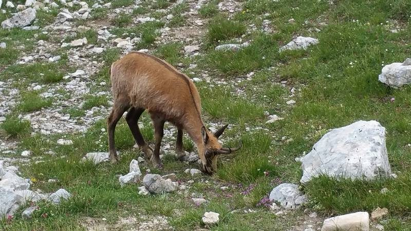 Chamois (wild goat) grazing in Pirin National Park