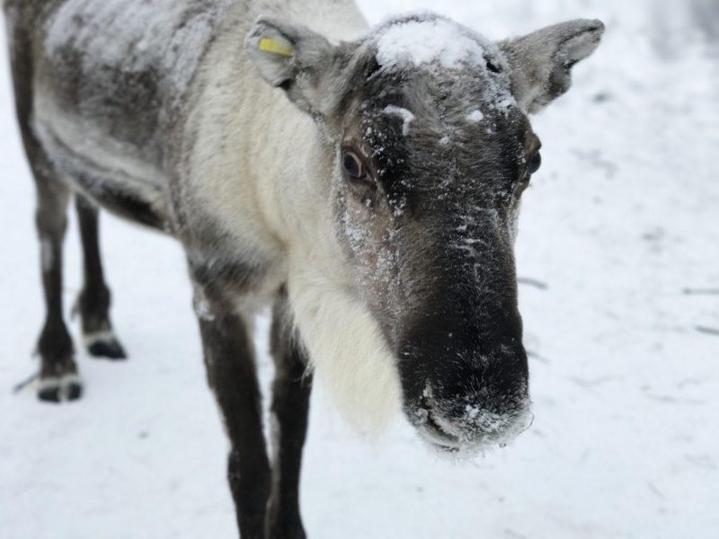 Dans l'Arctique, le hausse des températures a modifié les conditions météorologiques dans le nord de la Finlande; il est donc difficile pour les rennes de trouver de la nourriture sous la neige durcie. Crédit : Sonia Narang/PRI