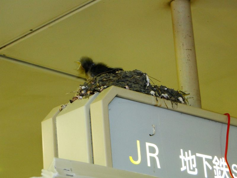 Swallows in Umeda Station
