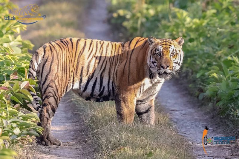 Nepal roars with pride to become the first country to double its wild tigers  by 2022 · Global Voices