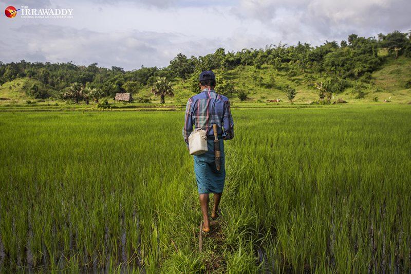 Ko Pho La, vue de dos, marche sur l'immense étendue verte d'une rizière.