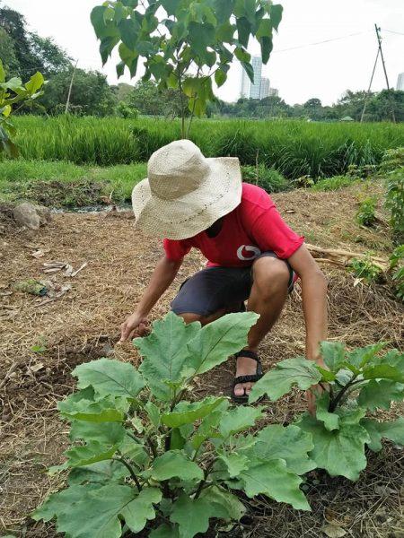الزراعة في المدينة ذات الابينة الشاهقة الظاهرة في الخلفية. المصدر: من على الفيسبوك وتم النشر بعد الحصول على الموافقة