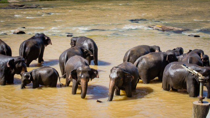 Elephants bathing at Pinnawala Elephant Orphanage