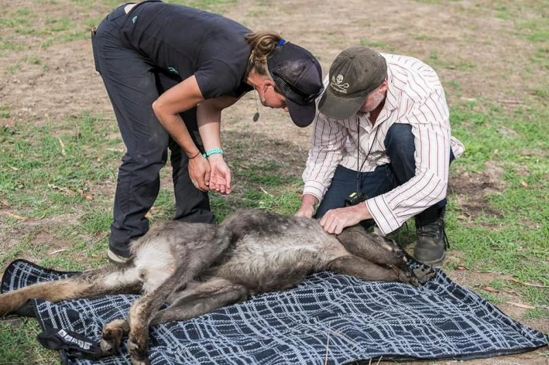 Eastern Grey kangaroo receiving treatment