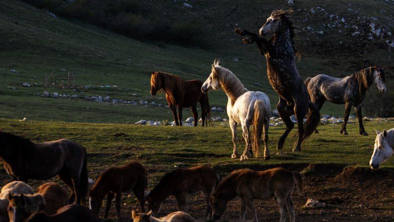 Les chevaux sauvages de Livno, mustangs de la Bosnie-Herzégovine · Global Voices en Français