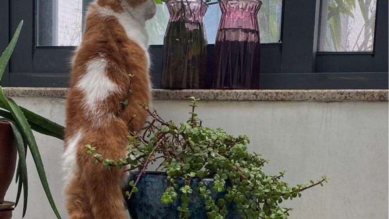Un chat juché sur une table, les oreilles baissées fixant un oiseau à l'extérieur.