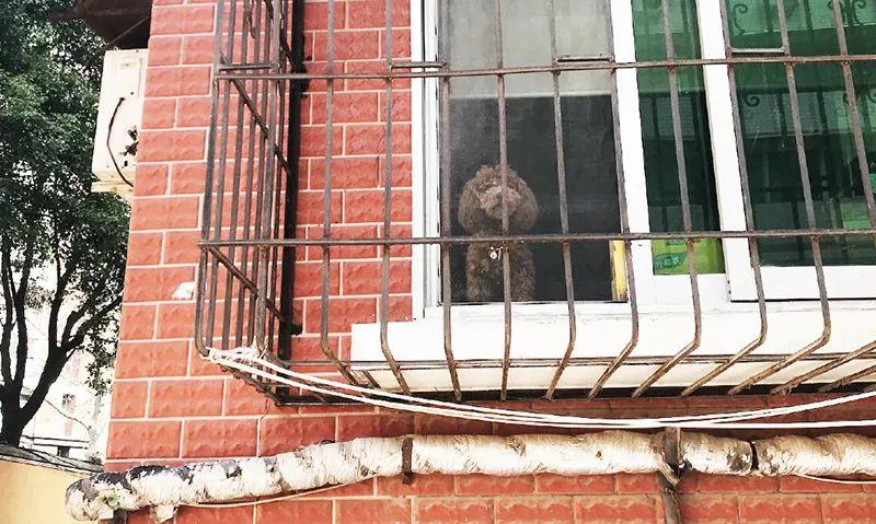 Au carreau de la fenêtre, seul, un caniche aboie sur le monde extérieur.