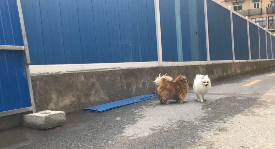 Deux petits chiens se promènent seuls dans la cour d'une résidence, devant une barrière bleue de quarantaine.