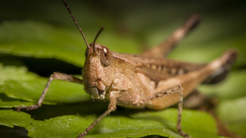 Migratory Locust. Image by Sergio Boscaino via Flickr. CC BY 2.0