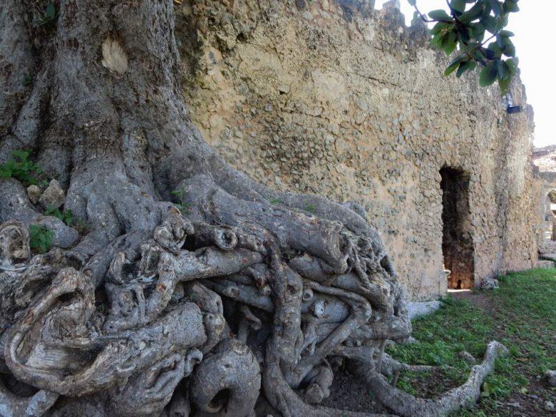 Radici di un albero avvinghiate a un muro del quindicesimo secolo all'isola Kilwa Kisiwani, in Tanzania.