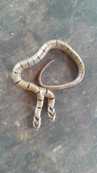 Un serpent à deux têtes, de couleur claire avec des rayures noires sur le corps. Il se tient sur une pierre.