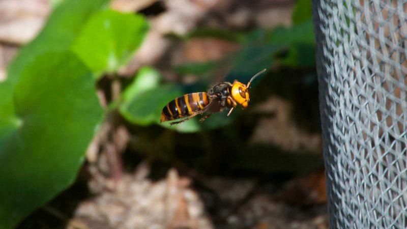 Un frelon asiatique jaune et noir faisant du sur place devant une ruche. On distingue son imposant visage et ses mandibules.