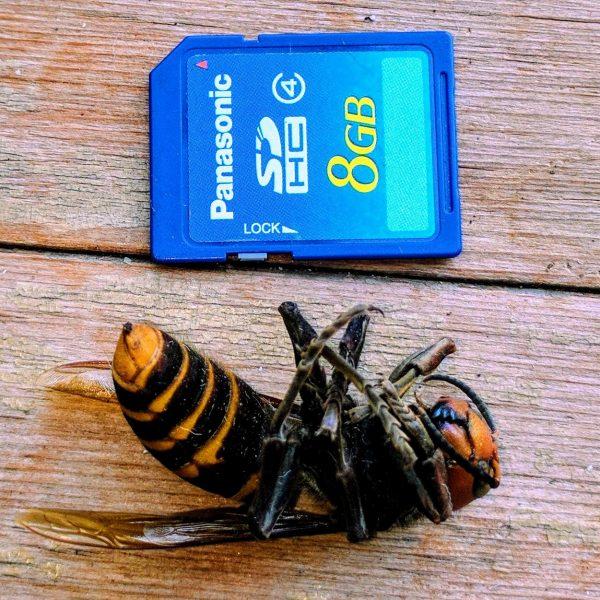 Japanese murder hornet