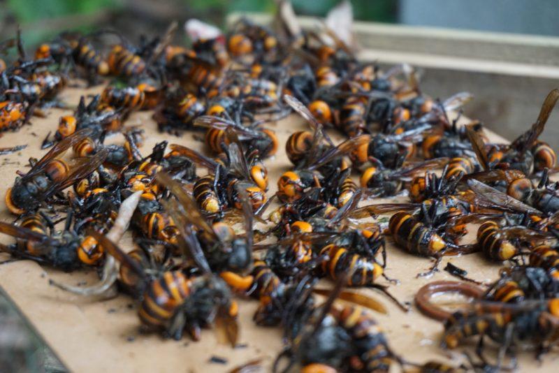 Une petite cinquantaine de frelons asiatiques piégés par une compresse recouverte d'une colle, déposée sur le toit d'une ruche. Beaucoup sont morts.