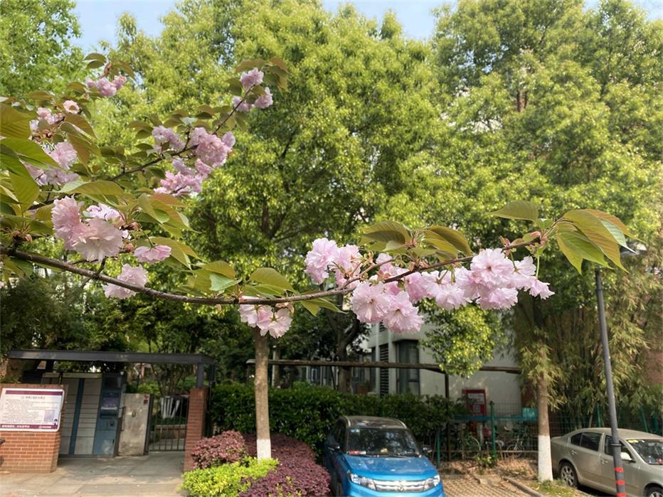 Une branche de cerisier en fleurs occupe le premier plan. En arrière plan, on peut voir des appartements cachés par une rangée d'arbres.