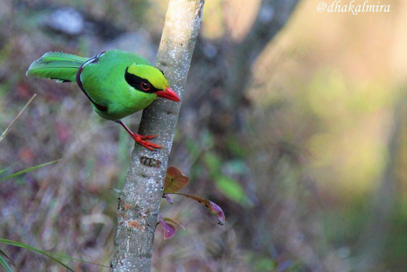 Une Pirolle verte perchée sur une branche.
