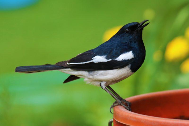 Un Shama dayal posé sur un pot. L'oiseau est noir avec un ventre blanc.