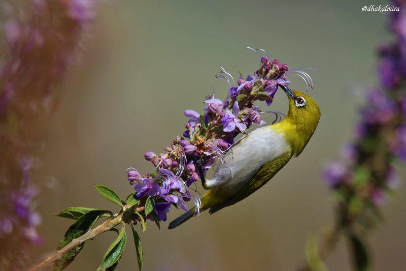 Un Zostérops oriental cherche des insectes dans une fleur.