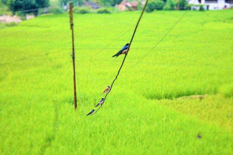 Un moineau est perché sur un fil électrique avec trois hirondelles au dessus d'un champ vert vif.