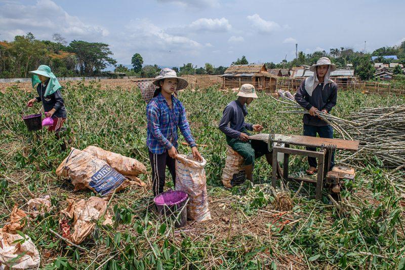 Des migrants birmans travaillent dans un champ de manioc en Thaïlande, non loin de la frontière birmane.