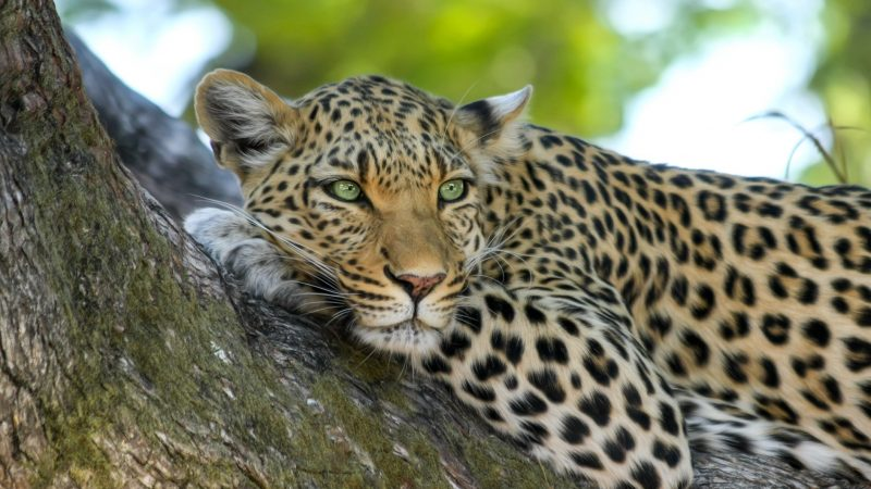 Leopard on Brown Trunk Tree. Image by Pixabay via Pexels. CC0.