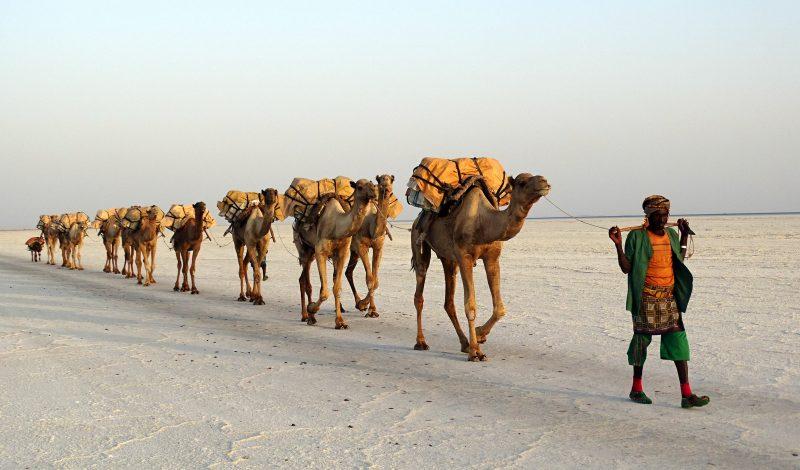 Dans le désert en Ethiopie, un homme mène une caravane de chameaux qui transportent du sel.