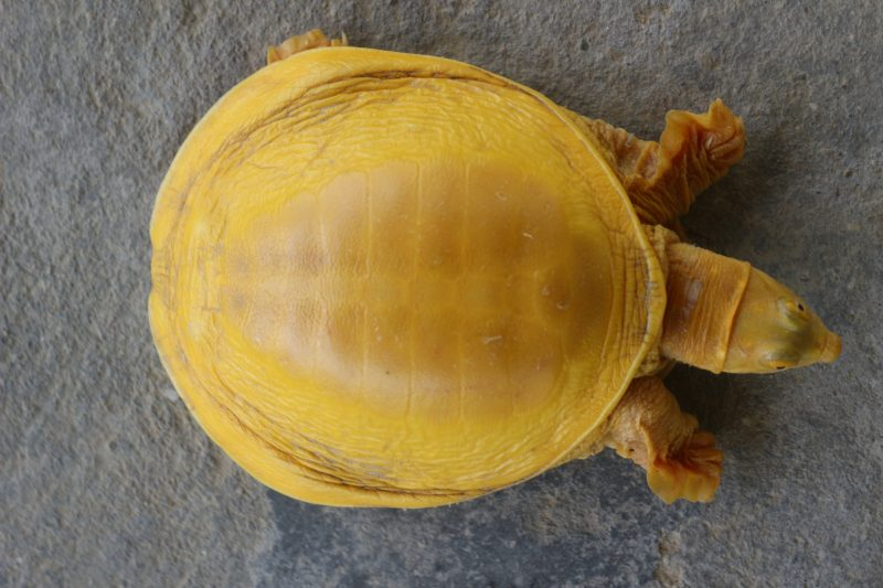 A rare, golden turtle — first of its kind —discovered in Nepal