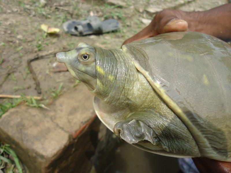 Photo de profil d'un Trionyx à clapets de l'Inde gris tacheté de jaune.