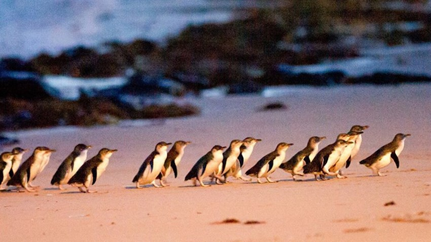 Phillip Island, Penguin Parade August 2019