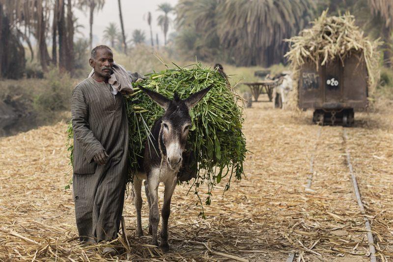 Un homme égyptien âgé marche à côté de son âne, qui est chargé d'herbes fraichement coupées.