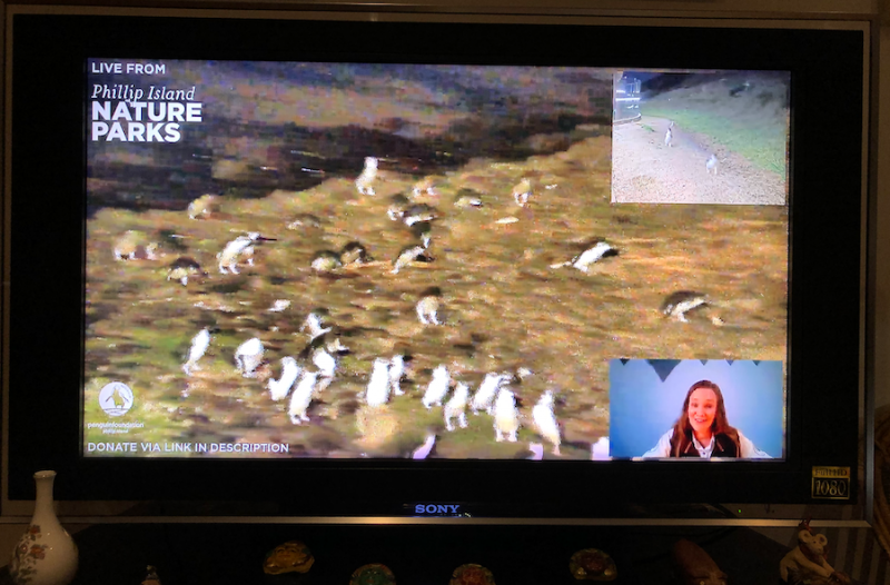 Livestream of Phillip Island Penguin parade