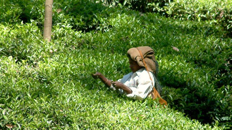 Une cueilleuse de thé travaille dans un champ. Elle porte un sac en bandoulière derrière elle, la sangle posée sur sa tête.