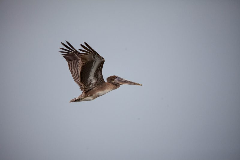 Un Pélican brun en vol