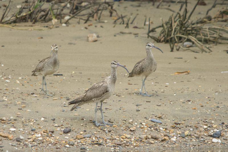 Trois Courlis corlieu sur une plage, observant au loin