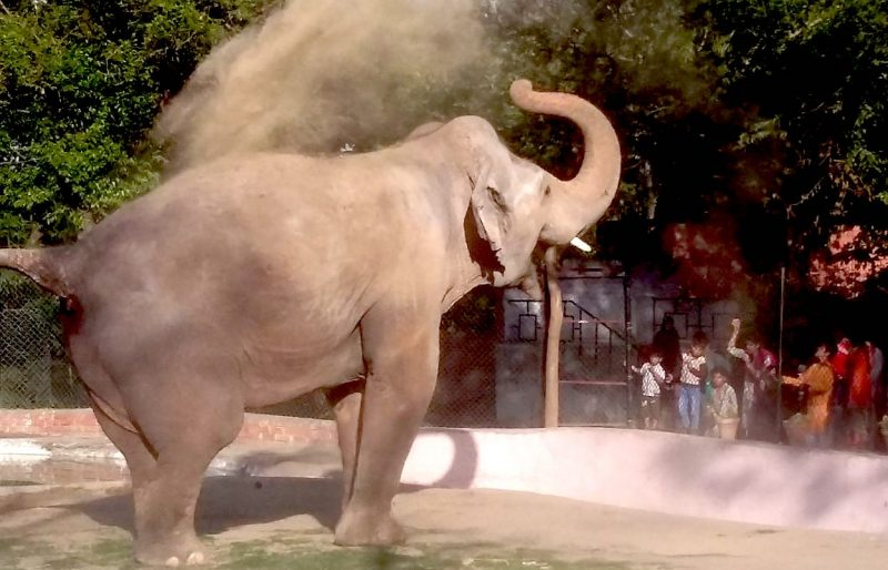 An Elephant in a Pakistan Zoo. Image via Wikipedia by Mfawadazhar. CC BY-SA 4.0