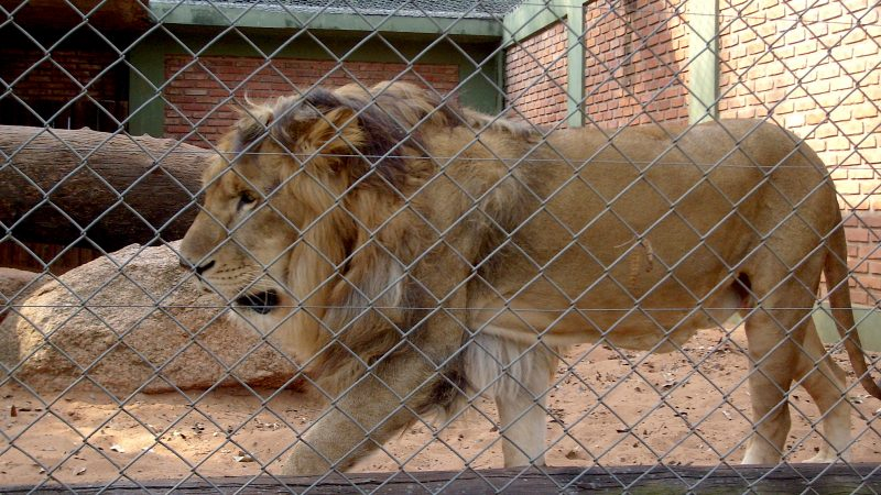 Lion at a Zoo. Image via Wikipedia by Carlosar.
