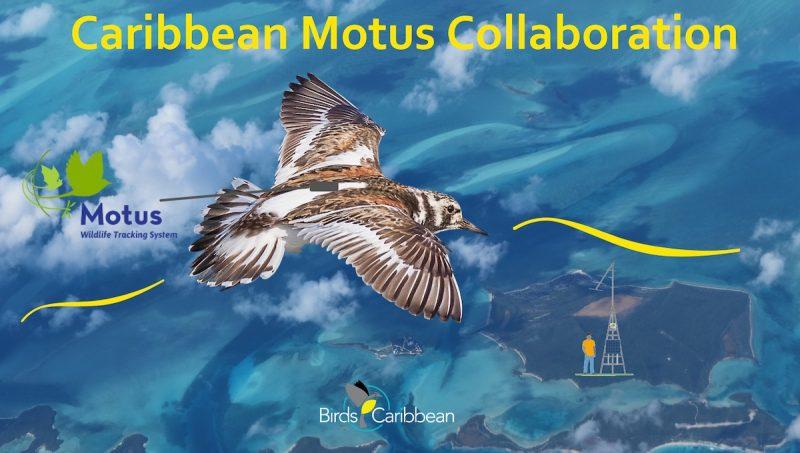 Illustration représentant un Tournepierre à collier en vol au-dessus des îles et de l'océan