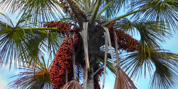On aperçoit un Palmier-bâche avec le ciel bleu en fond, et des grappes de fruits rouges sur certaines branches