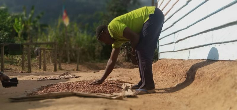 Лідер громади Еммануель Белама схилився над настилом, де сушаться како боби.