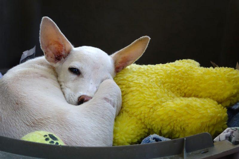Un petit chien blanc allongé en boule dans son panier et sur une peluche jaune.
