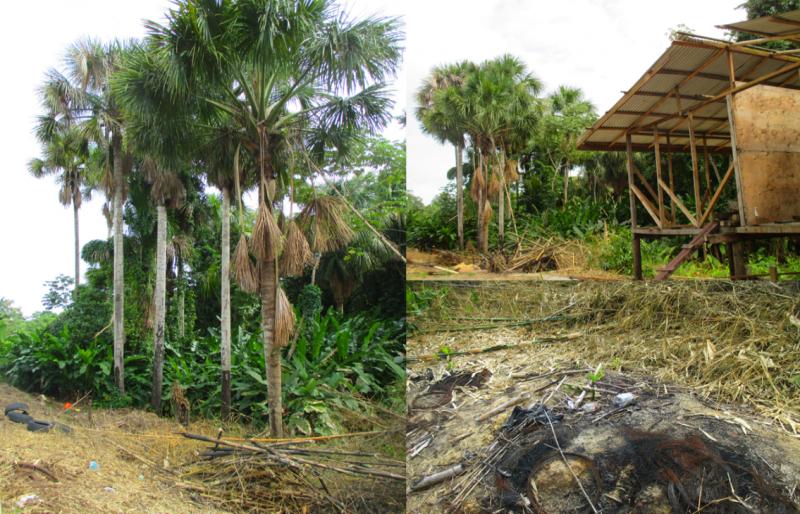 Palmiers-bâche abattus pour le squat et l'agriculture. Des débris de palmiers jonchen le sol et on voit des cabanes en construction.