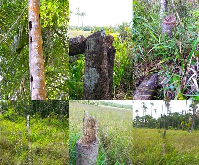 Palmiers-bâche abattus dans la savane d'Aripo et la réserve d'Arena. On voit des troncs troués ou cassés.