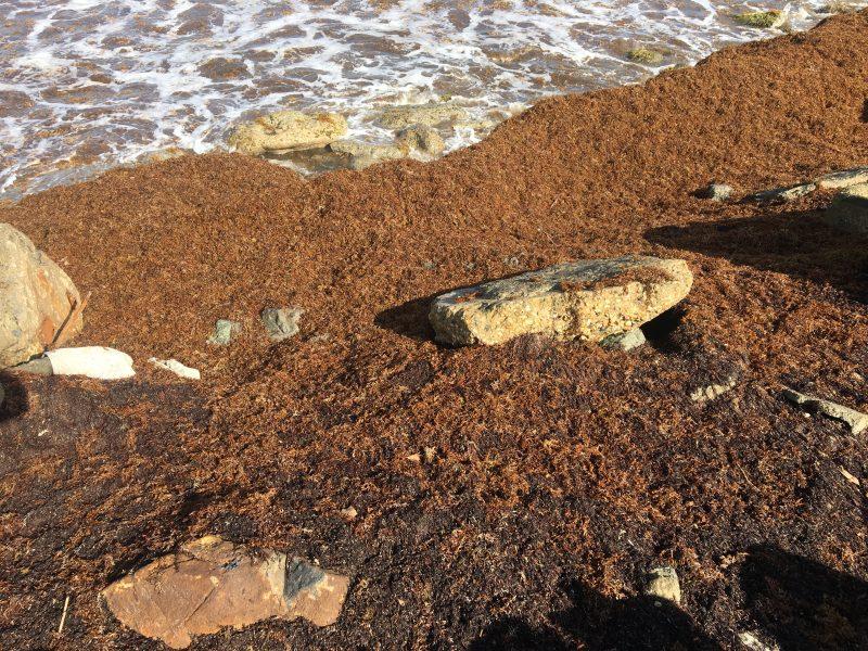 Algues sargasses sur l'estran de Lambeau à Tobago