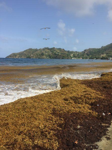 Amas de sargasses sur la plage de Speyside à Tobago