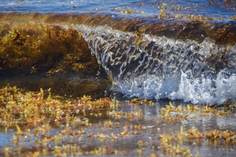 Sargasses sur le rivage