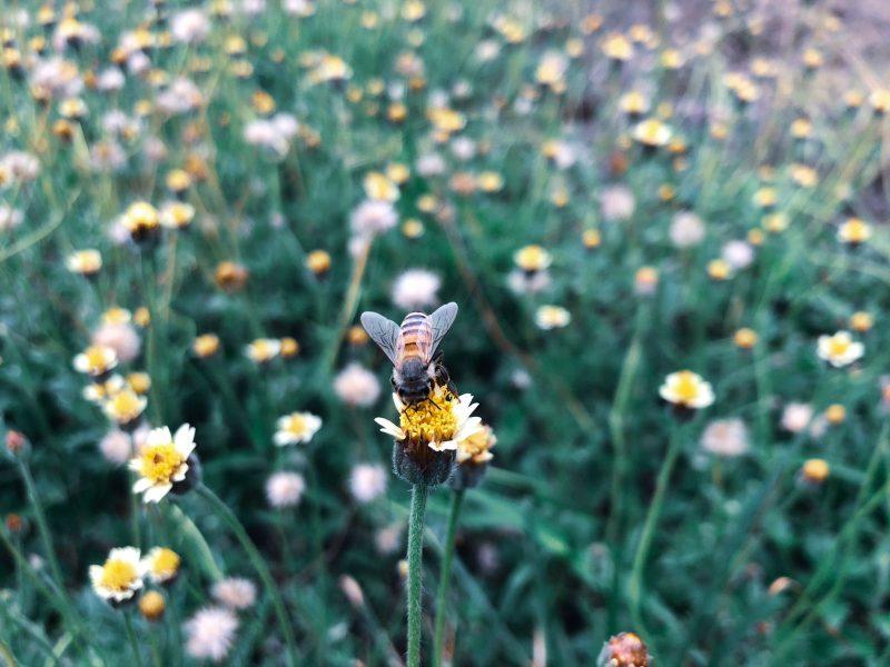 Une abeille solitaire posée sur une fleur dans un pré
