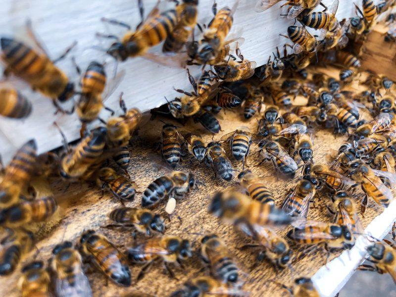 Des dizaines d'abeilles à l'entrée d'une ruche