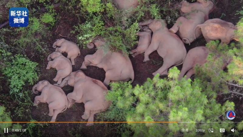 Onze éléphants, adultes et éléphanteaux, sont allongés sur le sol, dans la boue, entourés d'arbres.
