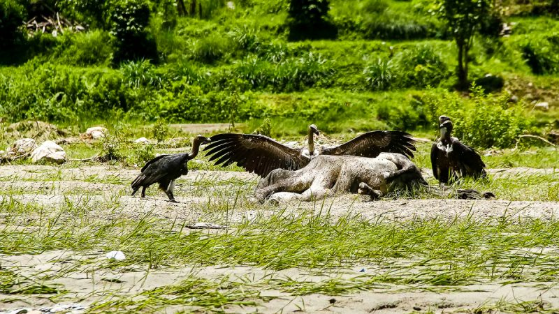 Vultures feeding on a carcass of an ox by the Fhusre River.